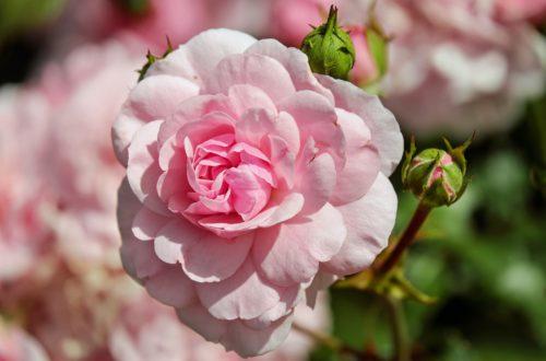 róża trądzik różowaty